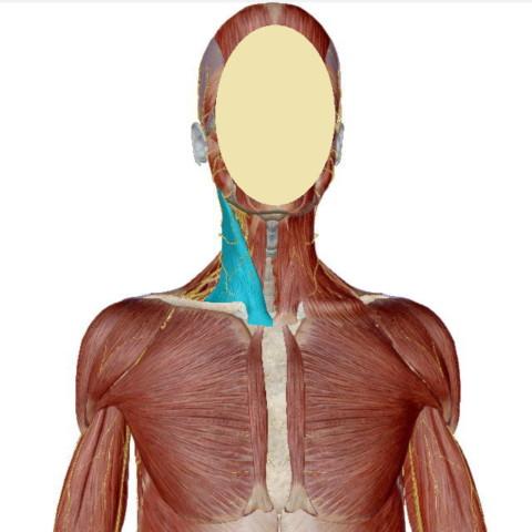 胸鎖乳突筋(きょうさ にゅうとつきん)