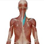 頸板状筋(けいばんじょうきん)