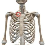 胸鎖関節(きょうさかんせつ)