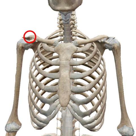 肩鎖関節(けんさかんせつ)