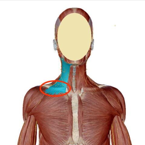 広頚筋(こうけいきん)