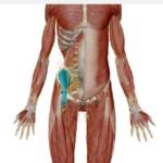 腸骨筋(ちょうこつきん)